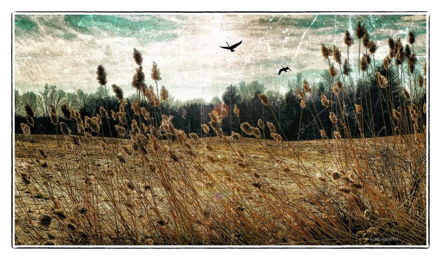 DSC02185_Reeds_Two_Geese.jpg