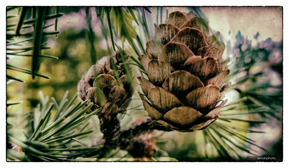 P1130576_Pine_Cones.jpg