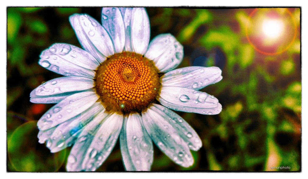 P1130914_Rainy_Daisy_flat