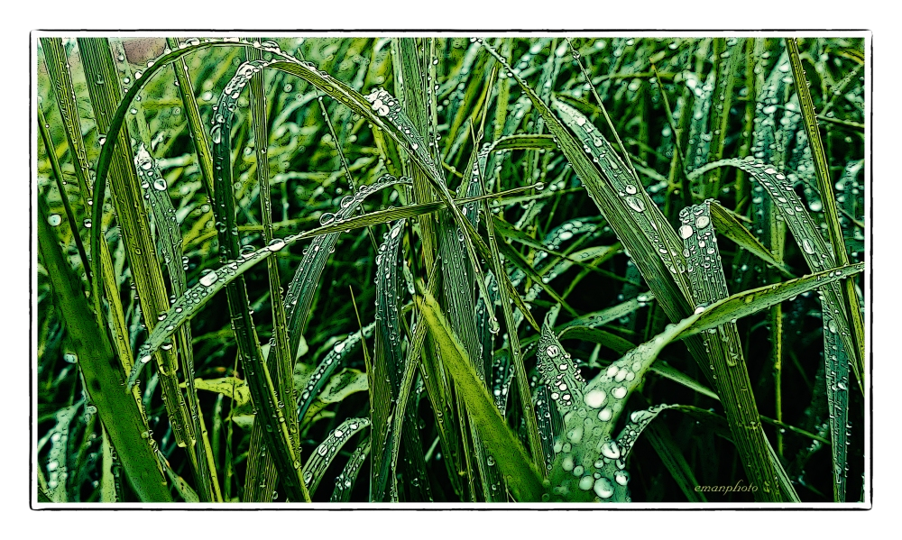 P1130933_Tall_Grass_Droplets_Borders